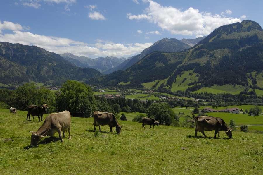 Urlaub auf dem Bauernhof mit Kindern im Allgäu: Bergpanorama mit Allgäuer Braunvieh