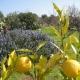 Zitronen, Lavendel, Kaktusfeigen und Olivenbäume: der Garten der Masseria leuchtet in vielen Farben und riecht nach Sommer und bella Italia