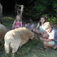 Morgens helfen die Kinder beim Schafe füttern