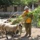 ... auch die Schafe freuen sich, wenn Marios sie füttert!