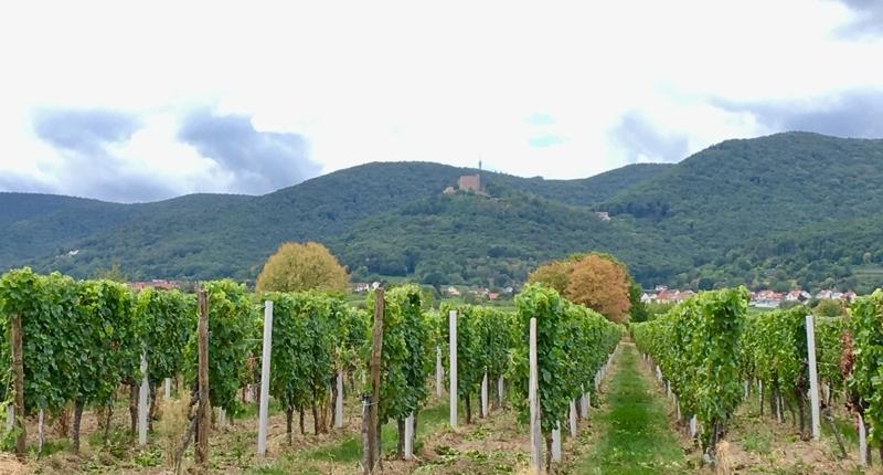 Erster WOW-Blick im Pfalzurlaub mit Kids: Vorne Weinreben, hinten die Hügel des Pfälzerwaldes