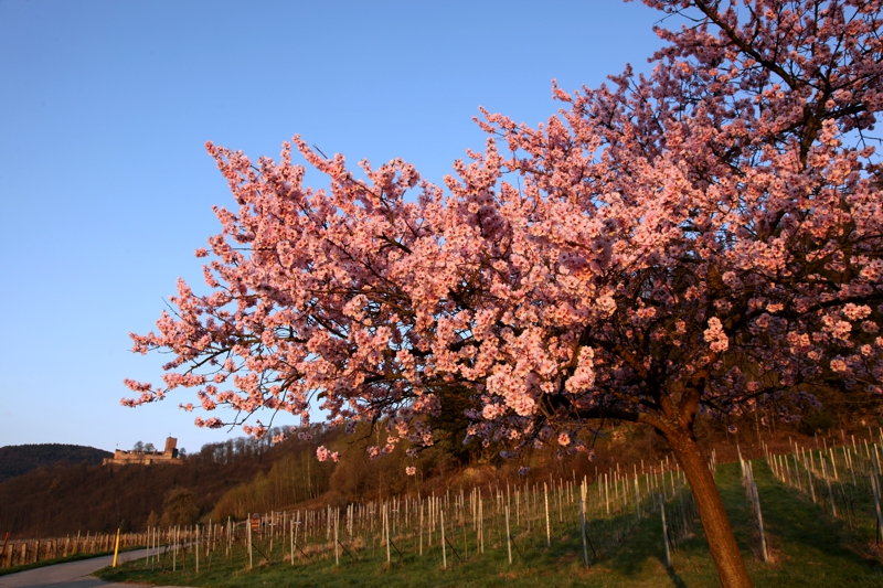 Familienurlaub Pfalz: Mandelblüte