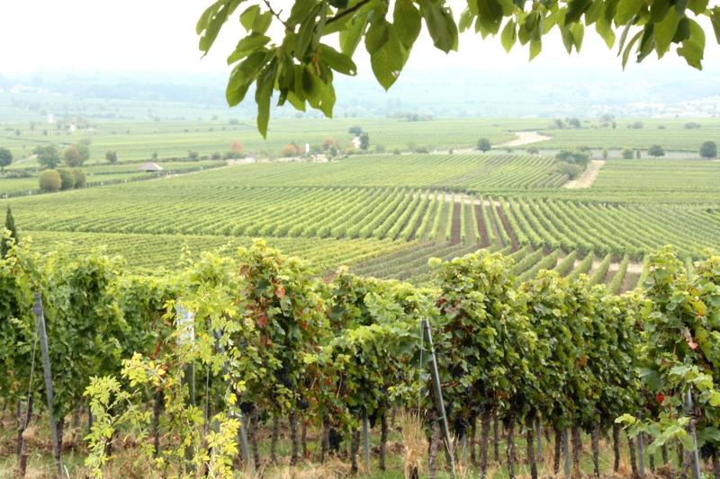 Pfalz mit Kindern: Weinreben so weit man schauen kann