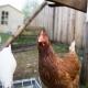 Die Chalet-Hühner...