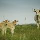 Die tollen Chianina-Kühe freuen sich über all' die jungen Gäste, die sie füttern