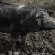 Die schwarzen cinta senese-Schweine sind typisch für die Region