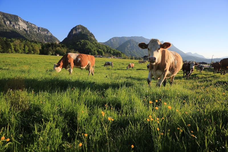 Fast schon zu kitschig schön, um wahr zu sein. Kühe, Berge, saftige Wiesen. So sieht´s im Chiemgau aus!
