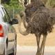 Bei einer Fahrt durch die Reserve African de Sigean gibts jede Menge Tiere ganz aus der Nähe zu sehen