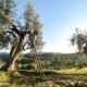 griturismo-Le-Mole-sul-Farfa-Olivenernte