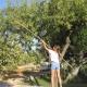 Die Kinder helfen beim Olivenernten mit