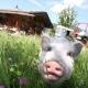 Die glücklichen Schweine werden nicht gegessen...