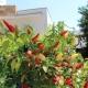 Wer´s scharf mag bedient sich an den Chilis, die im Garten wachsen...