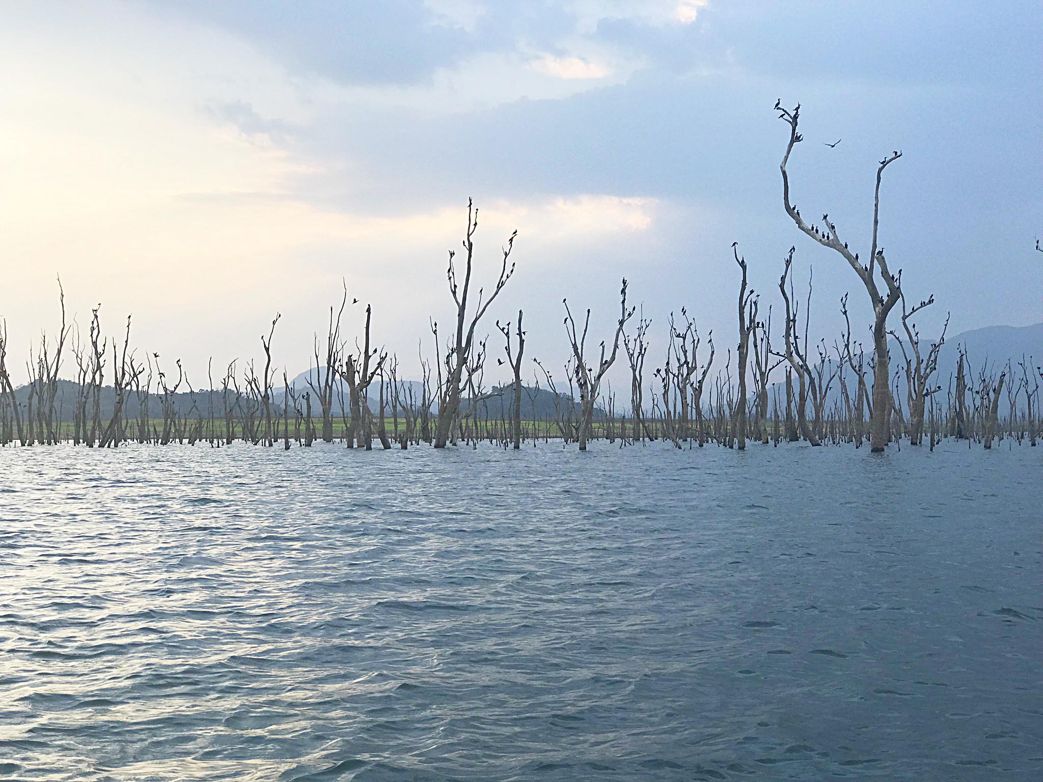 Bizarr - die Bäume im Wasser im Gal Oya National Park...