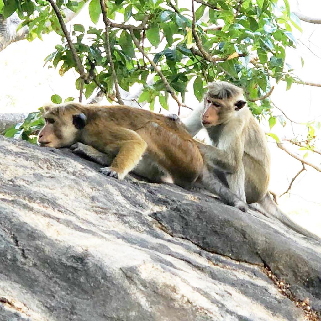 Affen bei den Dambulla Höhlentempeln - für die Kinder sind die quirligen Affen bei den Tempeln immer ein Programmhöhepunkt! Aber: Taschen festhalten!