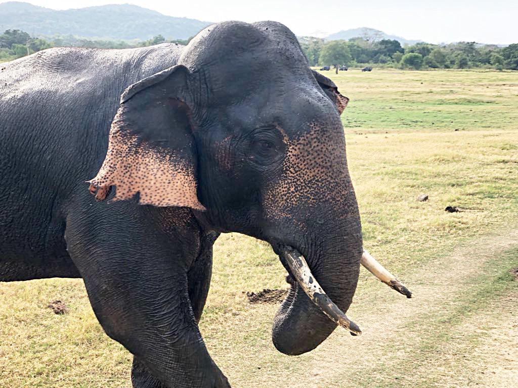 Ein Elefant im Mineriya Nationalpark. Wir haben nicht gezoomt. Der war so nah!