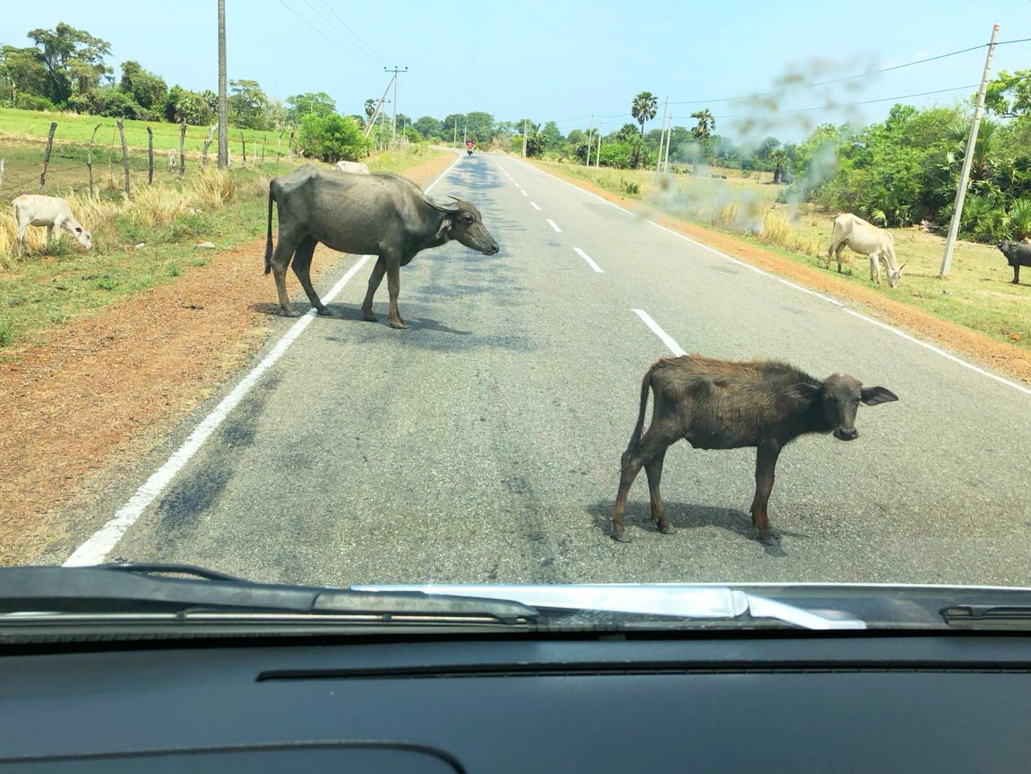 Kühe sind in Sri Lanka ernstzunehmende Verkehrsteilnehmer. Nur halten sie sich oft nicht an die Regeln....